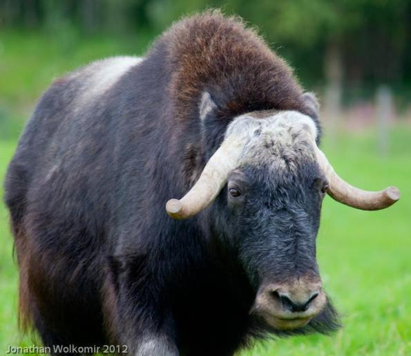More Musk Ox